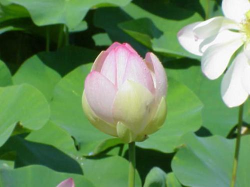 Фотоальбом цветок лотоса символ