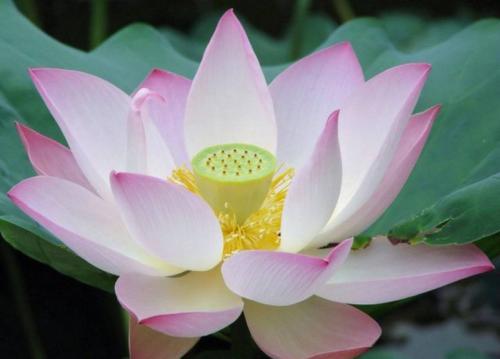 Лотоса название цветок лотоса 17 08 2010