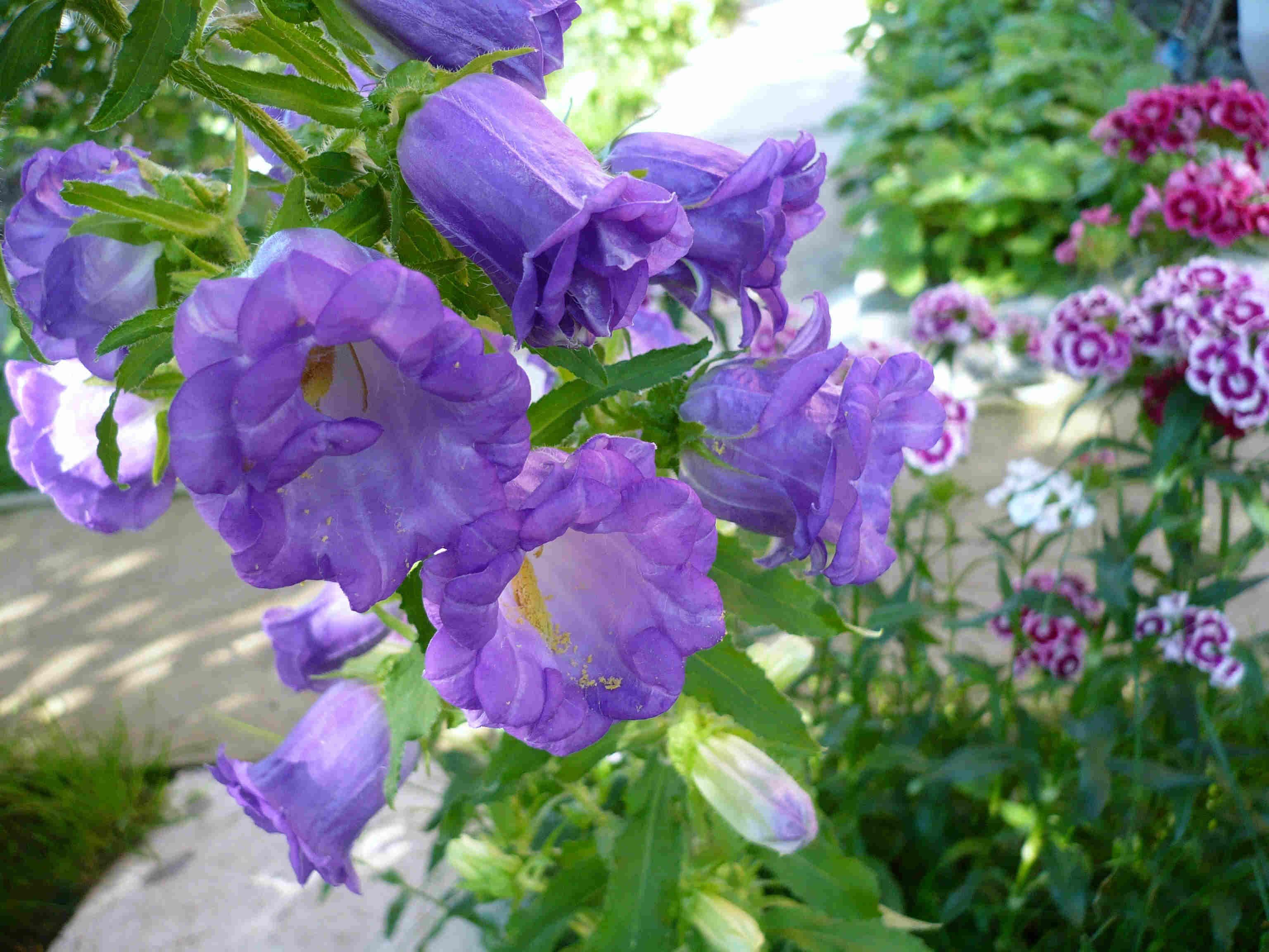 Виды цветов колокольчика фото