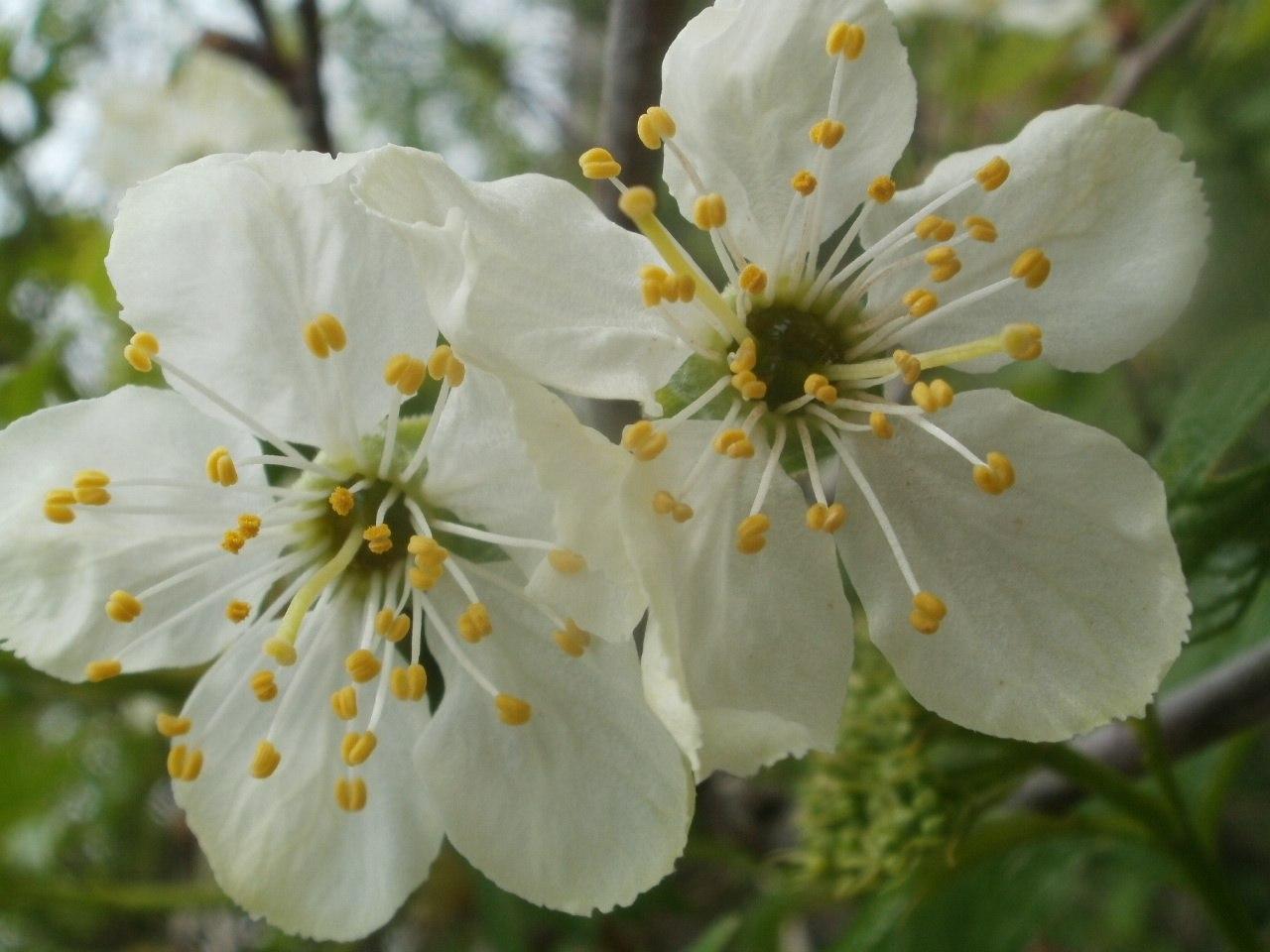Пестик у цветов фото